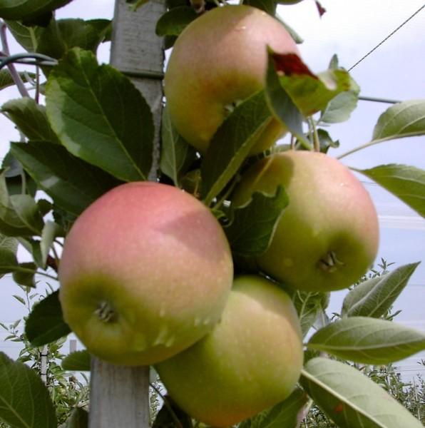 Apfelbaum Braeburn süßsäuerlich Winterapfel Apfel Buschbaum 120-150 cm im 7,5 Liter Topf MM111