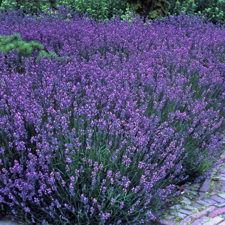 5 stauden lavendel lavandula angustifolia rosenbegleitstaude ca 10 20 cm im kleinen. Black Bedroom Furniture Sets. Home Design Ideas