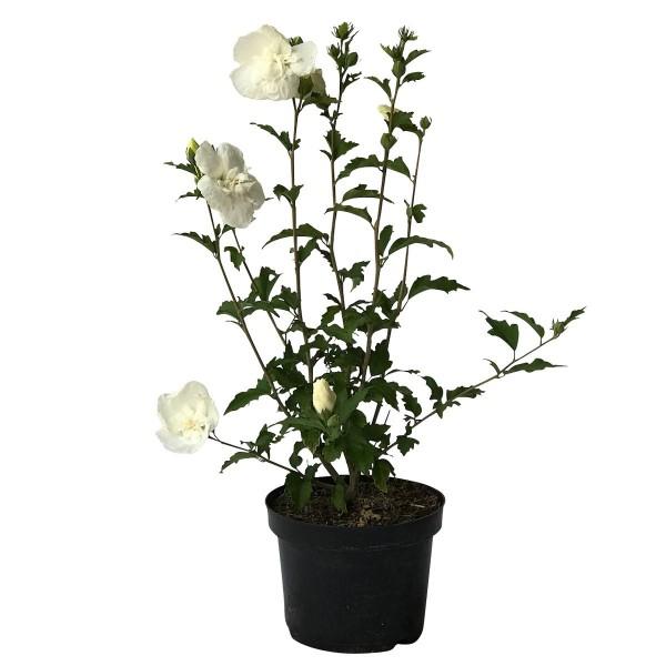 Roseneibisch, Hibiscus syriacus, White Chiffon ® reinweiß halbgefüllt ca. 40-60 cm, Pflanze 3 L Topf