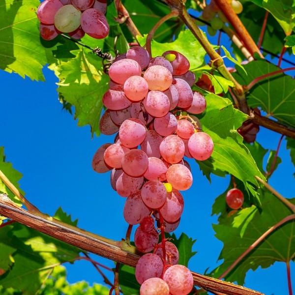 Weinrebe Kourgan Rose im 3,5 Liter Topf