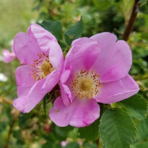 Glanz - Apfelrose - Rosa rugotida Wildrose
