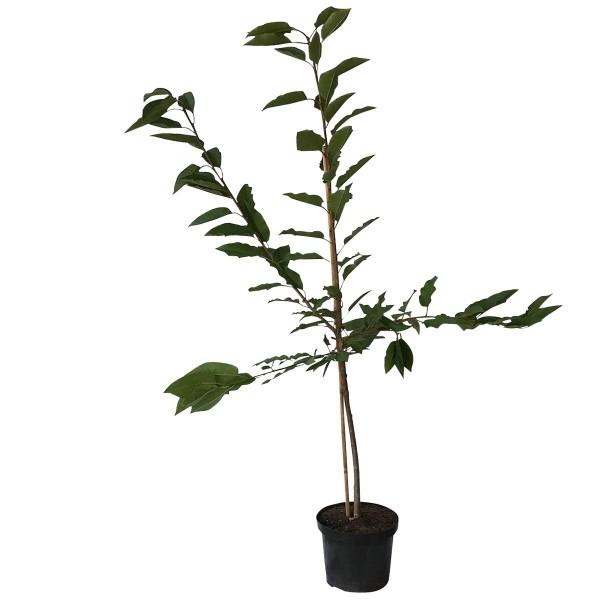 Große Schwarze Knorpelkirsche Süßkirsche Kirsche als Buschbaum ca. 120-150 cm Unterlage F12/1