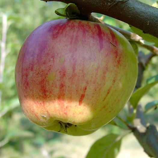 Apfelbaum Gravensteiner früher saftig süßer Herbstapfel Apfel Halbstamm 170-200cm 9,5 Liter Topf M25
