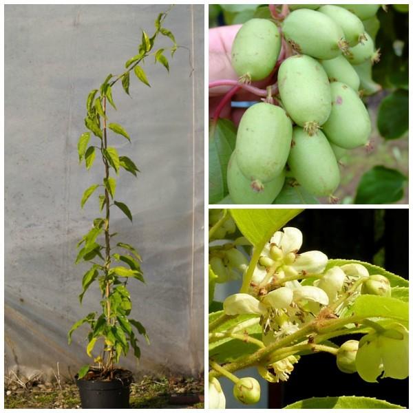 Bayernkiwi, weibliche Kiwipflanze Kiwi Actinidia arguta, glattschalig, 3 Liter Topf, ca. 60-100 cm