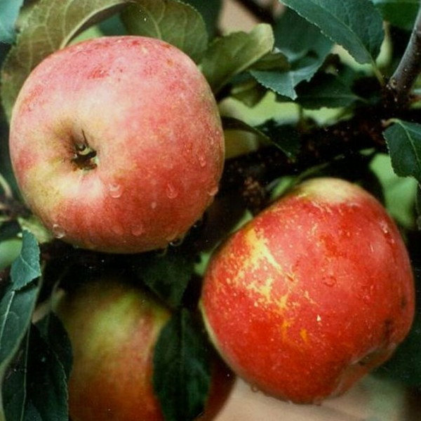 Rajka Ⓢ, robuster aromatischer Herbstapfel als Buschbaum ca. 120-150 cm 7,5 Liter Topf, Unterlage M9