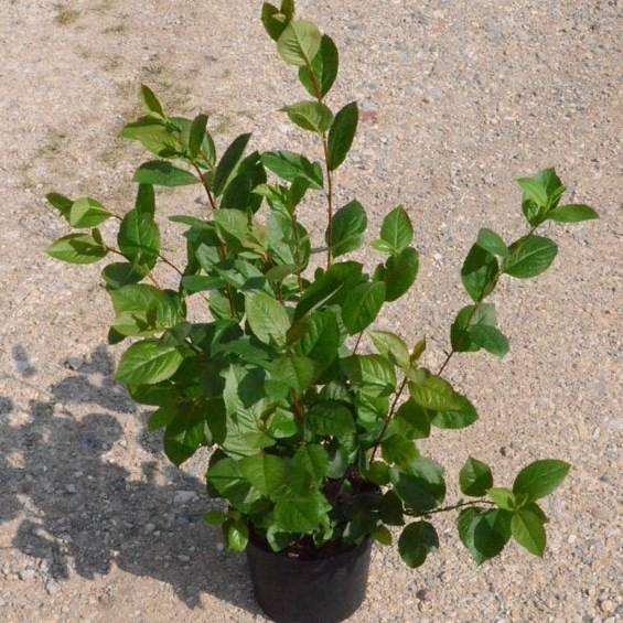 Aronia, schwarze Apfelbeere, reichtragende Sorte Viking ca. 60-80 cm, Pflanze im 3 Liter Topf