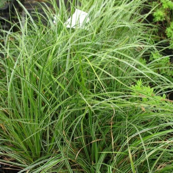 Vogelfuß-Segge, Carex ornithopoda 3 Stauden je im 7 cm Topf, ca. 10 cm hoch