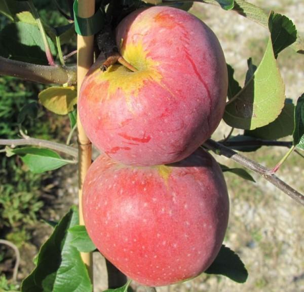 Florina, robuster Winterapfel Apfelbaum als Buschbaum ca. 100-120 cm im 5 Liter Topf, MM 111