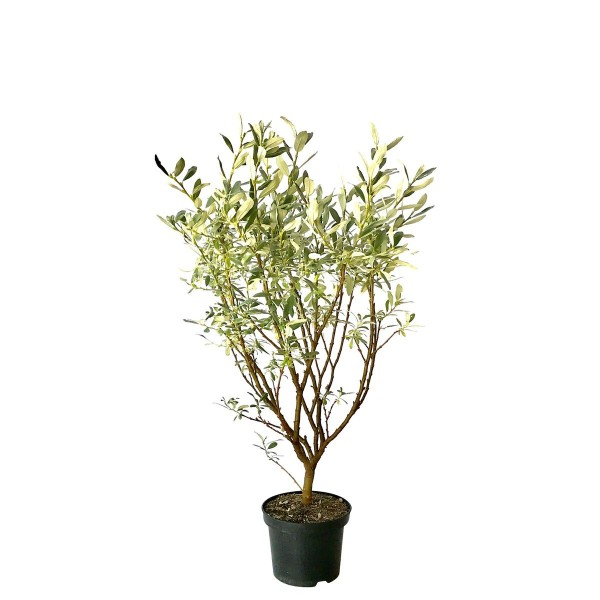 Schweizer Weide Salix helvetica Zwergweide Bienennährgehölz Insektennährgehölz 40-60 cm 2 Liter Topf