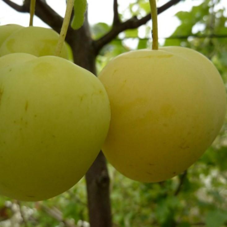 oullins reneklode pflaumenbaum gelbe frucht 150 170 cm 10 liter topf unterlage st julien a. Black Bedroom Furniture Sets. Home Design Ideas