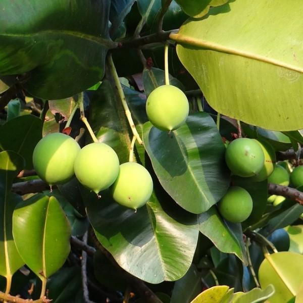 Alexandrinischer Lorbeer Traubendorn Danae racemosa immergrün ca. 20-30 cm im 1-3 Liter Topf