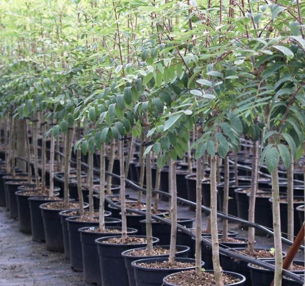 Eberesche Sorbus Edulis Wildobst leuchtend roten Früchte essbar Vogelnährgehölz  100-125 cm 5 L Topf