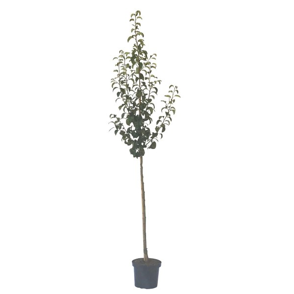 Birnenbaum Clairgeaus Butterbirne, aromatisch Herbstbirne Halbstamm 170-200 cm 10 L Topf auf Sämling