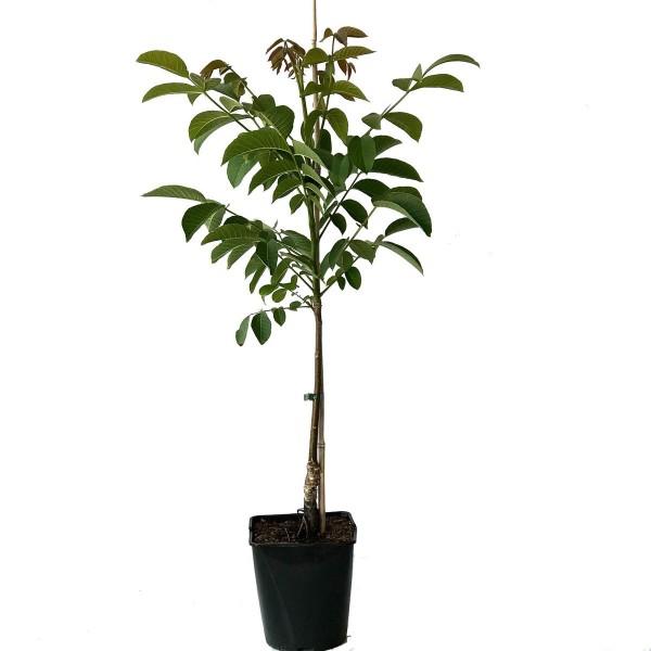 Zwerg- Walnussbaum Mini Multiflora Nr. 9, veredelter Walnussbaum, ca. 60-100 cm, im 5 Liter Topf
