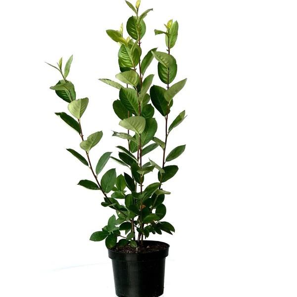 NEU! Aronia melanocarpa Rubina Apfelbeere großfruchtige Kreuzung ca. 40-60 cm Pflanze im 3 Liter Topf