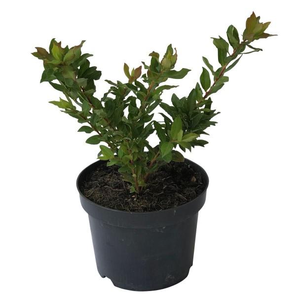 NEU! Blautropf ® Heidelbeere mit tropfenförmigen Früchten, Blaubeere ca. 30-40 cm 3 Liter Topf