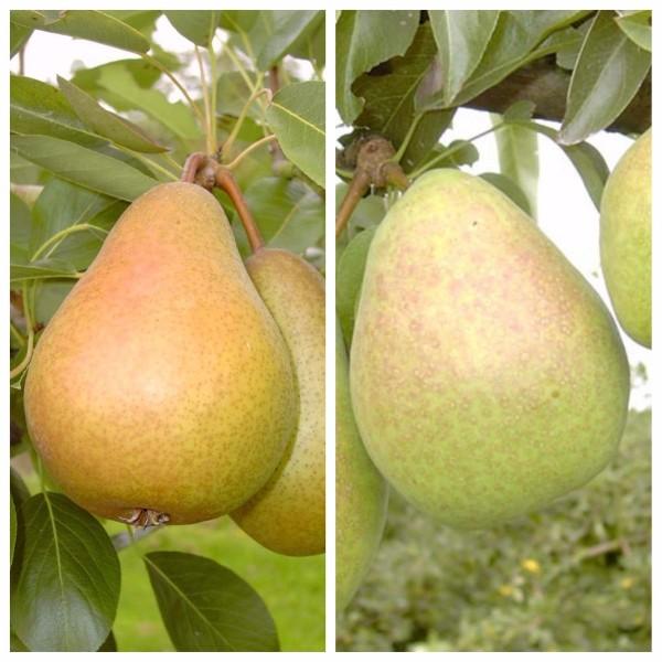 Duo Birnenbaum Gellerts und Köstliche von Charneux 2 Sorten auf einem Birnenbaum Quitte A