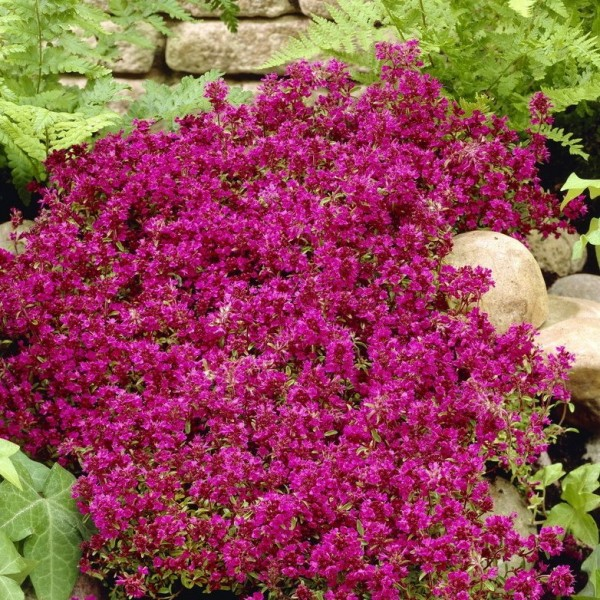 3er Set Teppichthymian Thymus serpyllum Magic Carpet, karminrosa blühend 3 Stauden im 0,5 Liter Topf