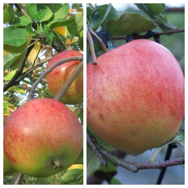Duo Apfelbaum Topaz (S) und Pinova (S) Buschbaum