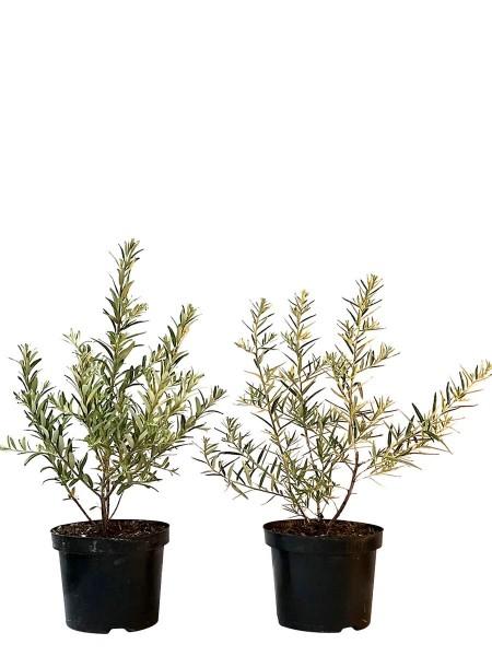 Sanddorn Set aus Leikora und Pollmix je 1 weibliche und 1 männliche Pflanze im 3L Topf