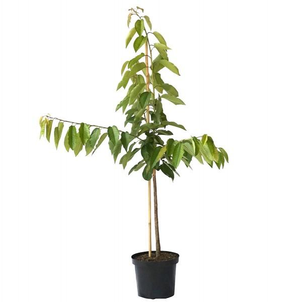 Kirschbaum Burlat frühe Süßkirsche kleinbleibend Buschbaum 120-150 cm im 9,5 Liter Topf auf GiSelA 5