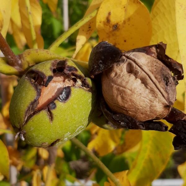 Kurmarker Walnuss Nr.1247 veredelter Walnussbaum sehr frosthart 60-100 cm 7,5 Liter Topf