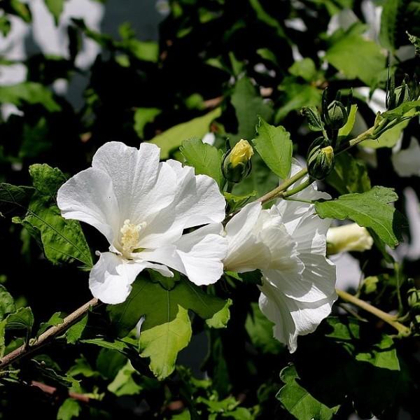 Roseneibisch Totus Albus Hibiscus syriacus weiße offene Blüte ca. 40-60 cm Pflanze im 3 Liter Topf