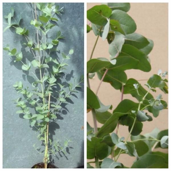 Eukalyptusbaum Gunnii, winterhärteste Eukalyptussorte ca. 80-100 cm, Pflanze im 2 Liter Topf