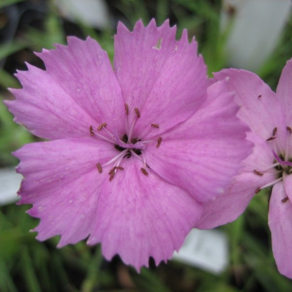 Karthäusernelke, Dianthus carthusianorum Rupert's Pink, Staude im 0,5 l Topf