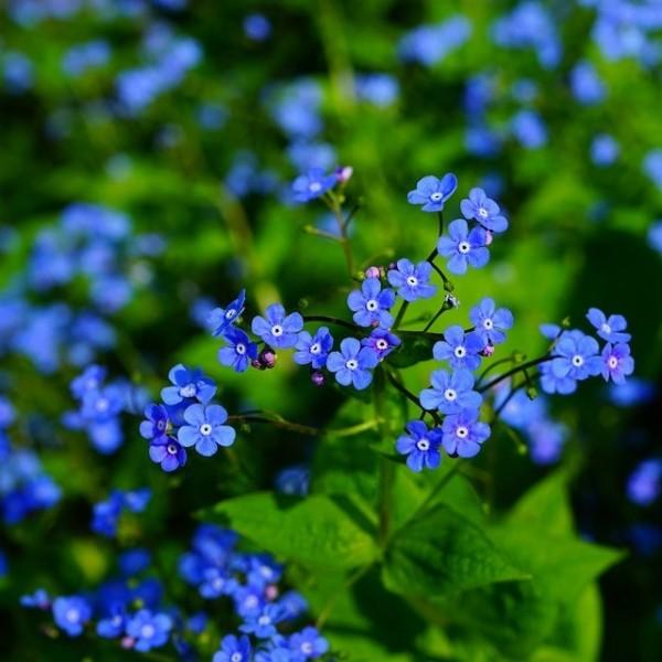 Kaukasus-Vergißmeinnicht Brunnera macrophylla blaublühend Staude im 0,5 Liter Topf