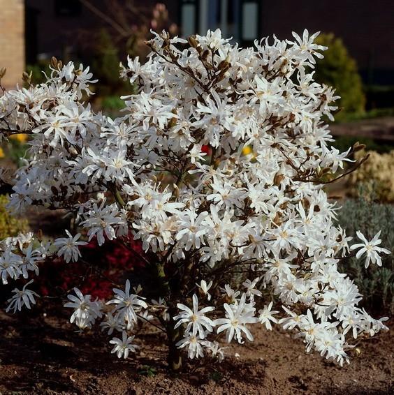 Sternmagnolie Magnolia stellata weiß blühend kleiner bleibend ca. 40-60 cm hoch im 3-4 Liter Topf