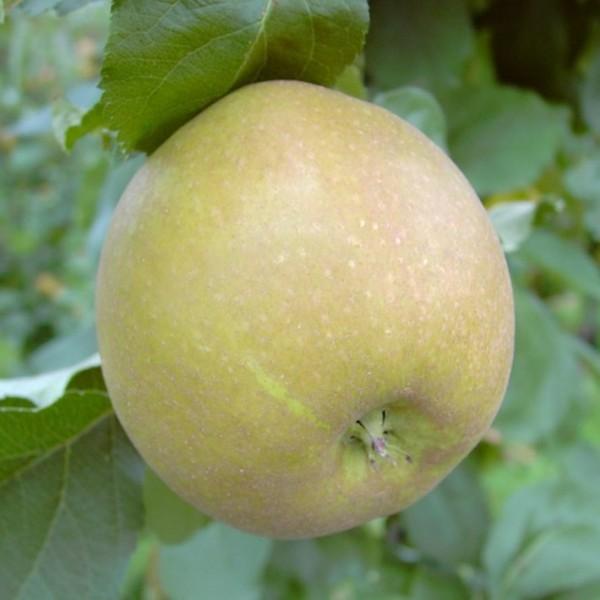 Apfelbaum Grüner Boskoop Winterapfel Bratapfel Buschbaum 120-150 cm im 7,5 Liter Topf Unterlage M9