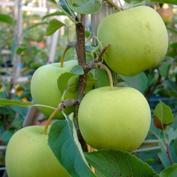 Apfelbaum Golden Delicious süßer Winterapfel Lagerapfel Halbstamm 170-200 cm 9,5 L Topf MM111
