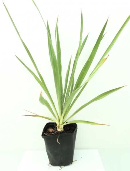 Palmlilie Yucca filamentosa Palme bis -20° C frostharte Gartenyucca ca. 20-30 cm