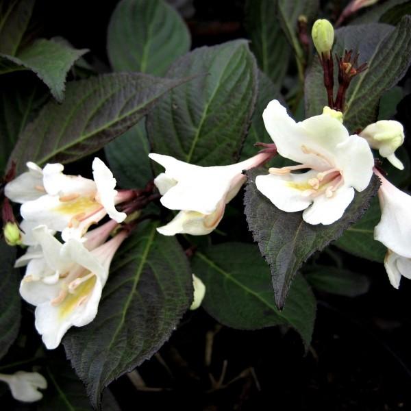 Weigelie, Glöckchenstrauch, Weigela florida Ebony & Ivory® weißblühend, 30-50 cm, im 3 Liter Topf