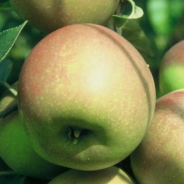 Apfelbaum Rote Goldparmäne Herbstapfel aromatischer Buschbaum 120-150 cm 7,5 Liter Topf Unterlage M9