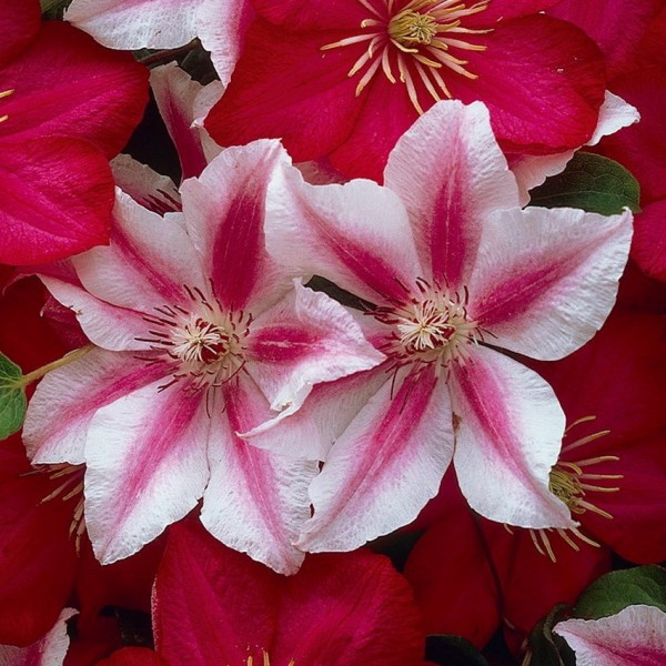 Clematis Nelly Moser ®, Clematis Hybride, weiß rosa Blüten, im 2 L ...