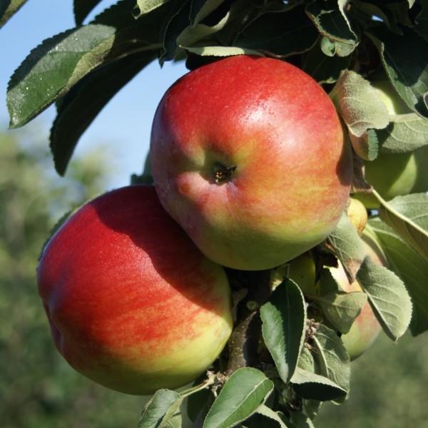 1a-plant FinnⓇ Säulenapfel Apfel robuste Pflanze ca. 60-80 cm 5 Liter Topf Veredelungsunterlage M7