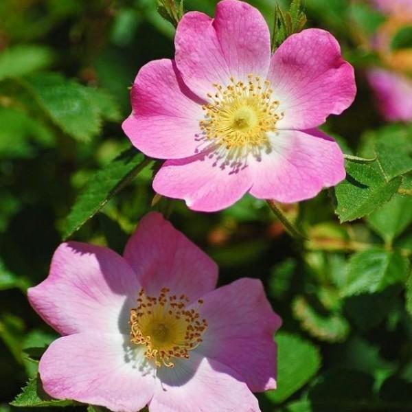 Wiesenrose Sandrose Rosa carolina Wildrose rosa Blüte Bienen und Insekten Nährgehölz 3 Liter Topf