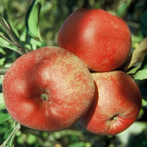 Melrose Winterapfel guter Lagerapfel Apfelbaum Buschbaum 150-170 cm wurzelnackt Unterlage M7