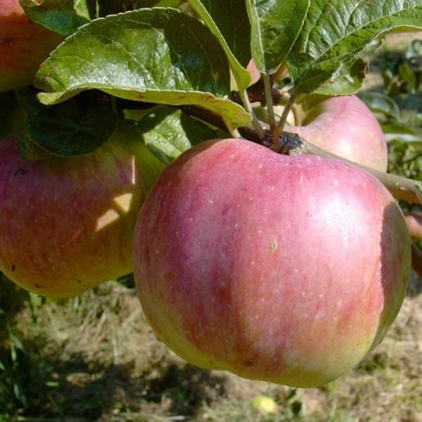 Apfelbaum Ontarioapfel, Winterapfel sehr guter Lagerapfel Buschbaum 120-150 cm 10 Liter Topf, M7