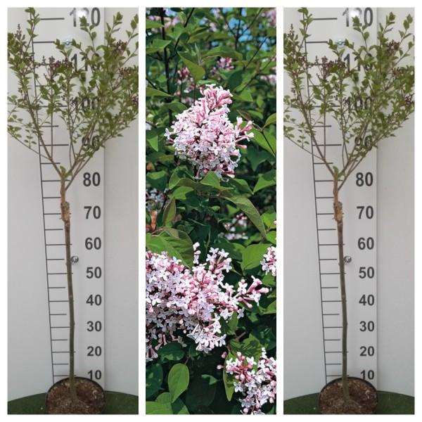 Flieder Palibin® Zwergfliederstämmchen, 2 Stämmchen im Set, rosa / hell lila blühende Blütenrispen