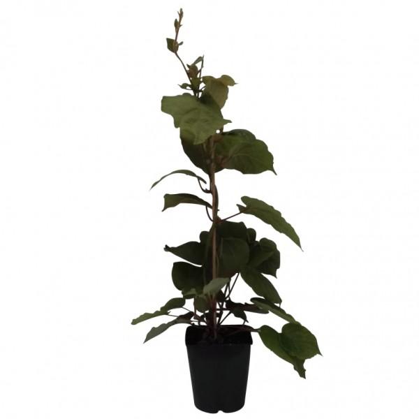 Hayward, weibliche Kiwipflanze 60-100 cm groß und gestäbt, kräftige Kiwi im 4-5 Liter Topf