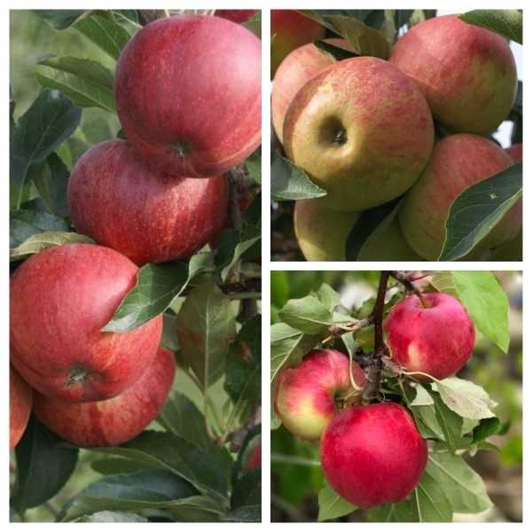 Trio Apfelbaum drei Apfelsorten Gala - Elstar - Cox Orange - Jonagold