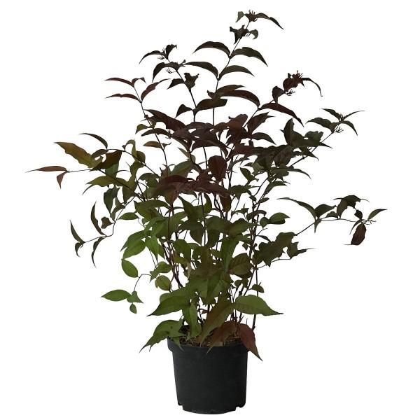 Amerikanische Weigelie Diervilla splendens Diva Bienennährgehölz 40-60 cm Pflanze im 3 Liter Topf
