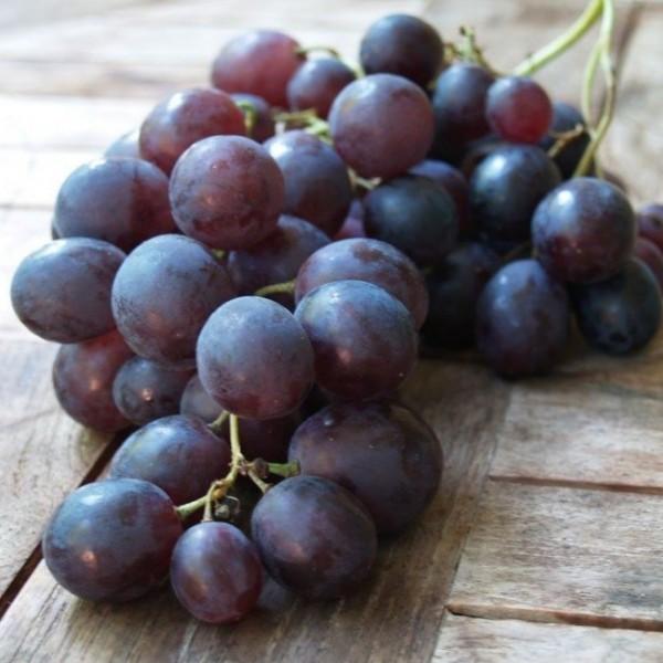 Straschinski, blaue Traube aus Moldawien, pilzfeste Weinrebe Wein robust, gestäbt, im kleinen Topf
