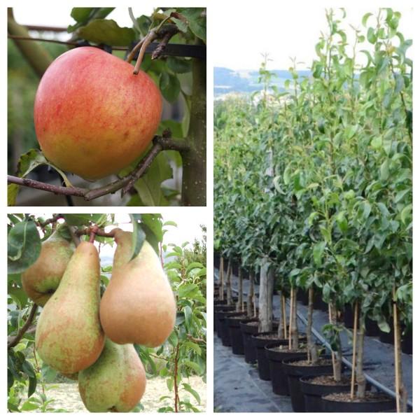 2er Set Apfelbaum + Birnenbaum Pinova MM111 + Abate Fetel Slg + 1 P. Dünger Busch 120-150 cm  9,5 L