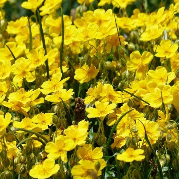 Staude Helianthemum x.h. Sterntaler Sonnenröschen goldgelbe Blüten von Mai - Juli im 0,5 Liter Topf