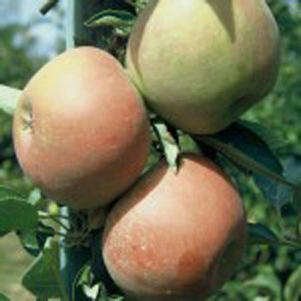 Holsteiner Cox, Herbstapfel, Apfel 1-jg Buschbaum ca. 80-100 cm 5 Liter Topf M27