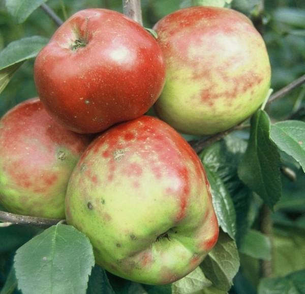 Apfelbaum Roter Gravensteiner früher Herbstapfel Buschbaum 120-150 cm 7,5 Liter Topf Unterlage M9